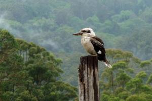 kookaburra-sunshine-coast-photo